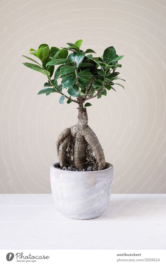 Ficus Ginseng Bonsai Leisure and hobbies Plant Tree Pot plant Small Bonsar Houseplant Flowerpot Root Fig ginseng Fig tree aerial root Minimalistic Miniature