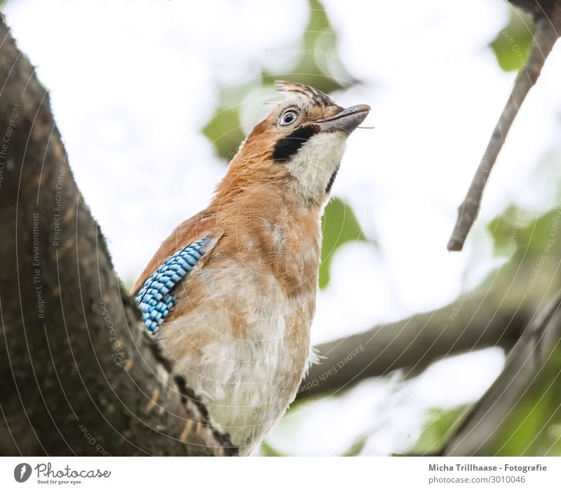 Jay observes the environment Nature Animal Sky Sunlight Tree Leaf Twigs and branches Wild animal Bird Animal face Wing Head Beak Eyes Feather Plumed 1 Observe