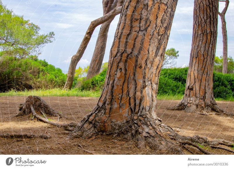 through thick and thin Nature Stone pine Tree trunk Forest Italy Tree bark Wood Growth Fat Thin Natural Brown Green Power Willpower Auburn Tilt Colour photo