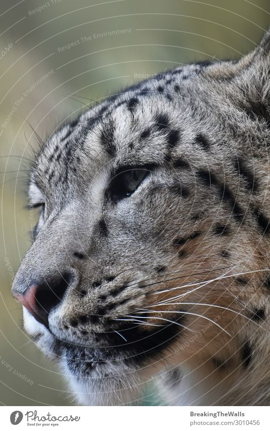 Close up side portrait of snow leopard looking away Nature Animal Wild animal Cat Animal face Zoo 1 Snow leopard Big cat Endangered species Cute Head Snout Eyes