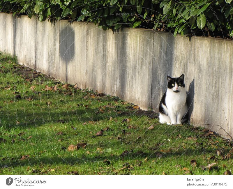 city cat Plant Grass Bushes Foliage plant Town Outskirts Wall (barrier) Wall (building) Animal Pet Cat 1 Communicate Looking Sit Gray Green Black White Emotions