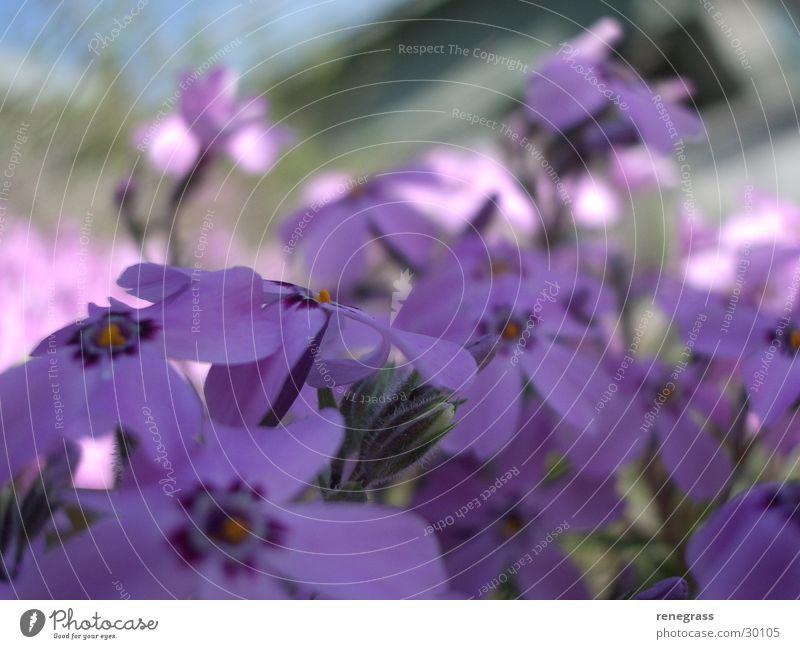 First spring game drive Flower Violet Spring Detail Close-up