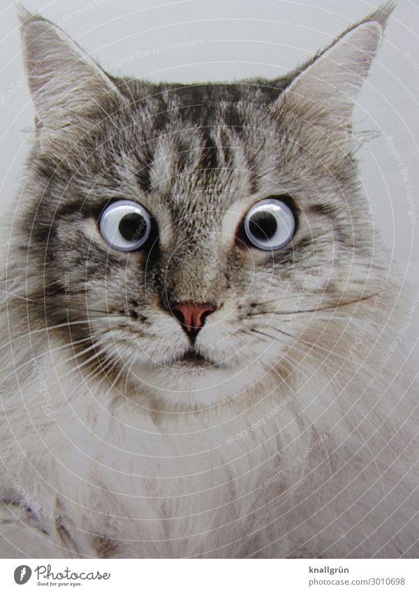 Cat White Animal Black Emotions Gray Communicate Pet Surprise Tiger skin pattern Children's eyes Gaze