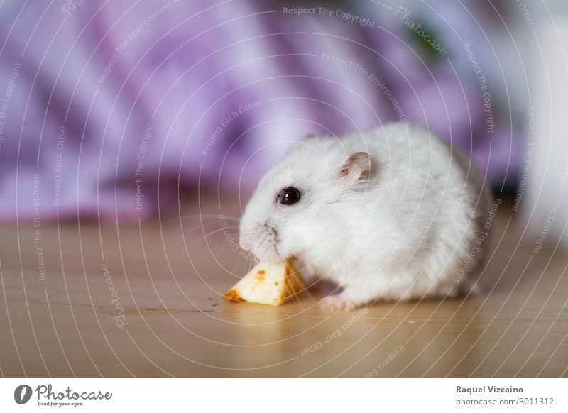 White hamster eating Cheese Eating Teeth Animal Pet 1 Diet Rodent Russian food eyes Feed Strange Mammal Colour photo Interior shot Copy Space left Twilight