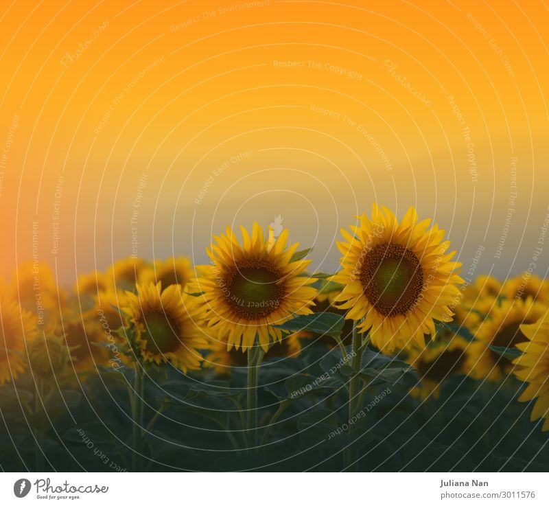 Sunflowers Field at Sunset.Nature Background Sky Vacation & Travel Summer Plant Landscape Flower Lifestyle Yellow Environment Natural Meadow