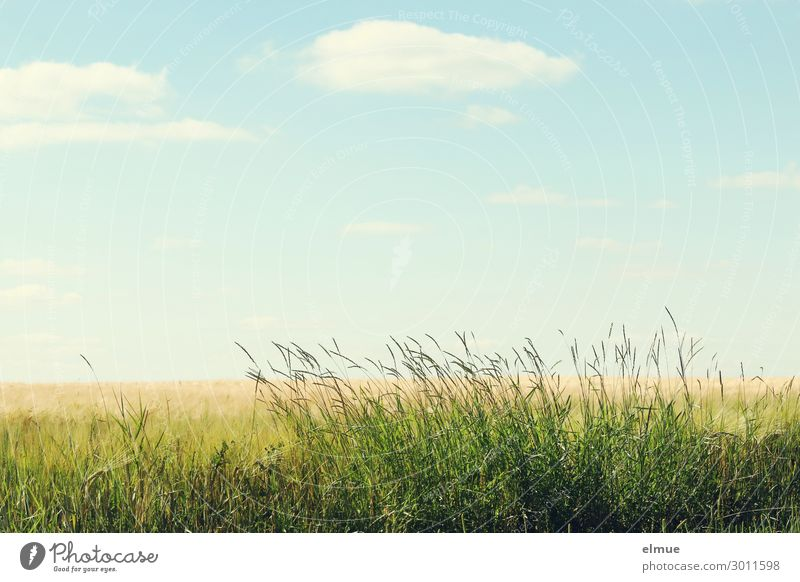At the edge of the field Environment Nature Plant Sky Clouds Summer Beautiful weather Grass Grain field Meadow Field Margin of a field Blue Yellow Green Serene