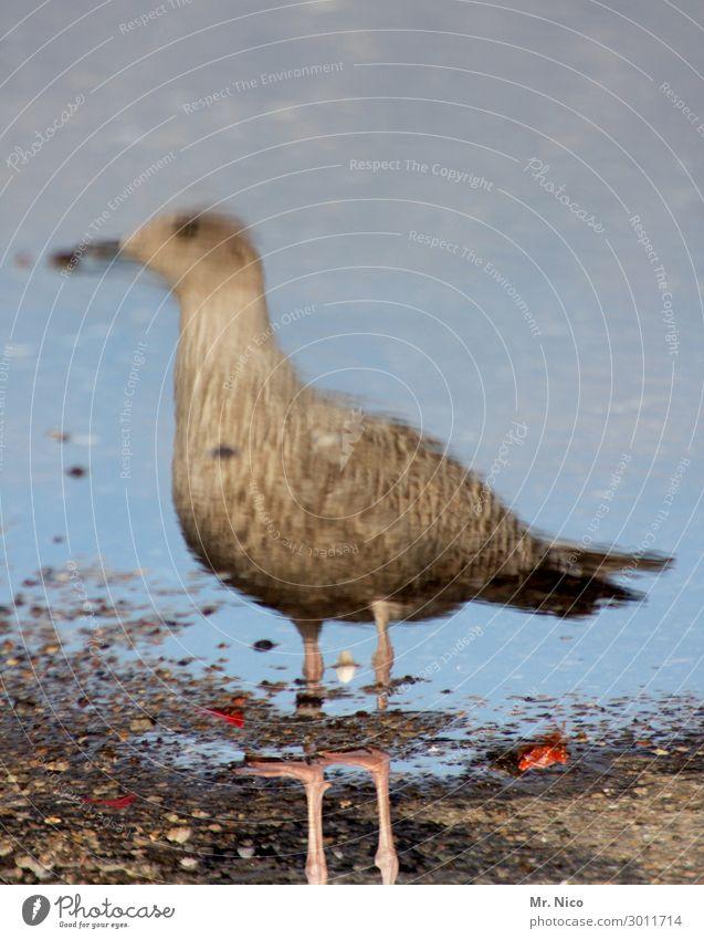 gull pick Coast Beach North Sea Bird 1 Animal Brown Gray Seagull Mirror image Water Reflection Lake Ocean Legs Stand Observe Beak Wild animal Animalistic