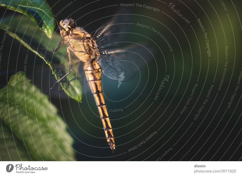 Evening visitor Environment Nature Plant Animal Wild animal Dragonfly Insect 1 Sit Wait Small Delicate Colour photo Exterior shot Close-up