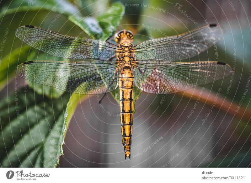 Evening visitor [2] Environment Nature Animal Plant Leaf Wild animal Wing Dragonfly Dragonfly wings Insect 1 Sit Glittering Small Natural Delicate Colour photo