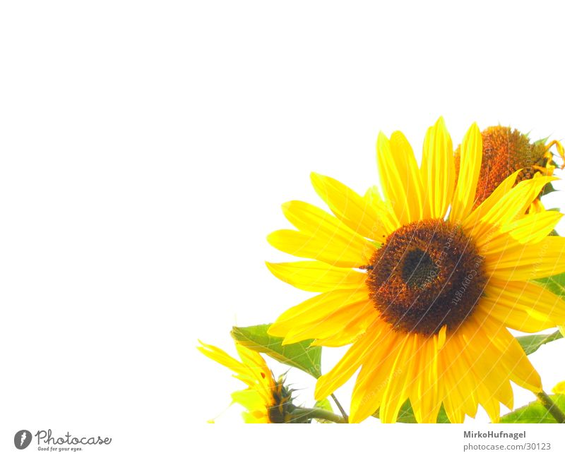 Flower Yellow Isolated Image Sunflower Beautiful weather Flashy White balance