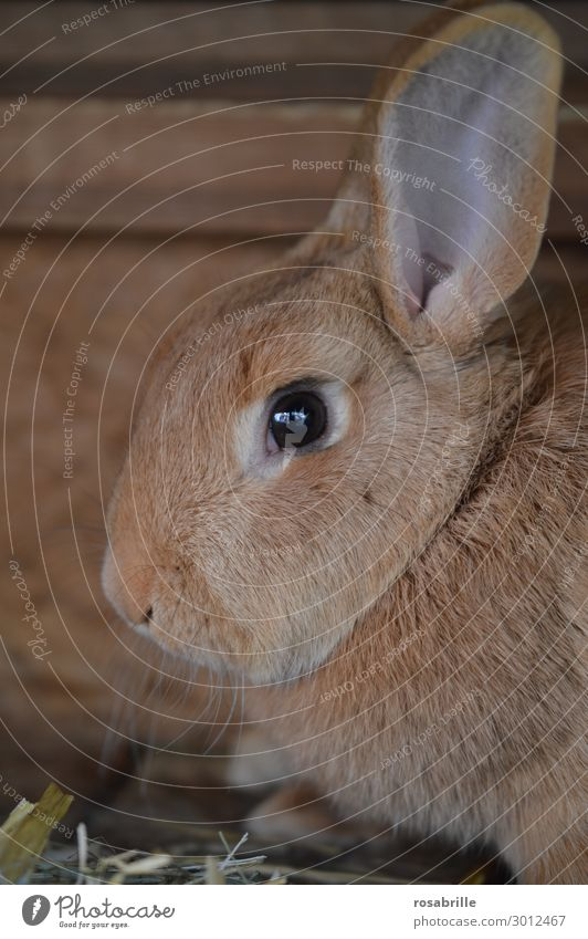 Animal Eyes Brown Head Happiness Cute Nose Easter Farm Ear Pelt Hare & Rabbit & Bunny Beige Farm animal Cuddling Easter Bunny