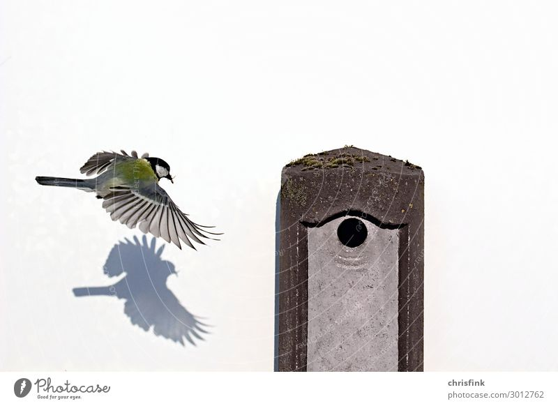 Great tit flies to nesting box Flat (apartment) Nature Animal Bird Wing 1 Baby animal Animal family Eating Flying To feed Feeding Hunting Esthetic Authentic