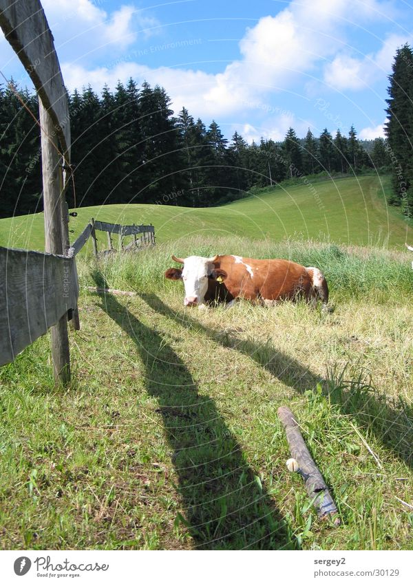 purring cow Meadow Cow Fence Agriculture Fir tree Forest Clouds Calm Nature Sky Shadow Pole