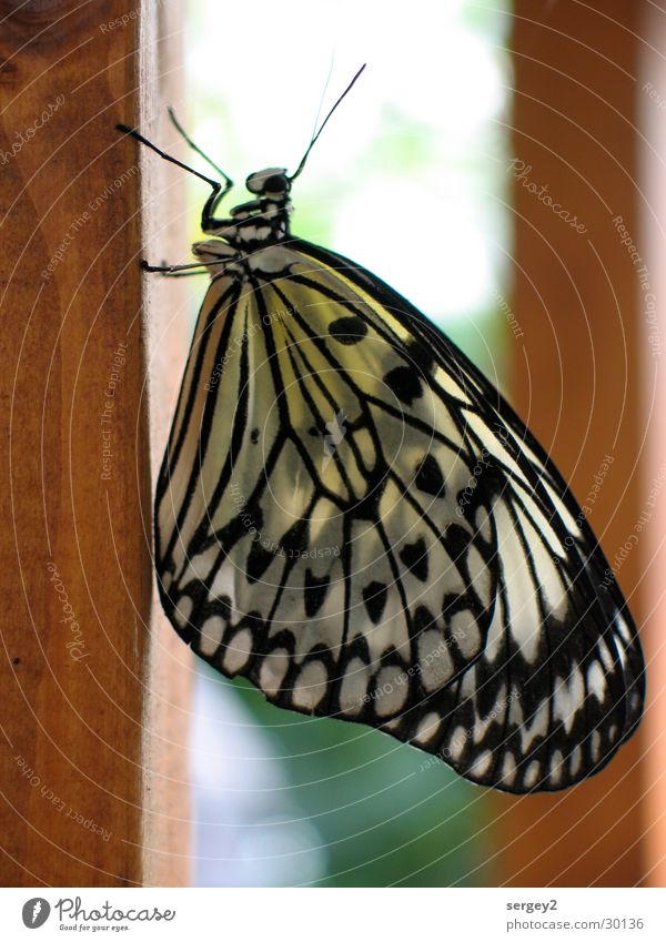 My Butterfly Animal Insect Wood Feeler Vertical Colour Close-up face black-white-yellow Pole Nature Point Eyes