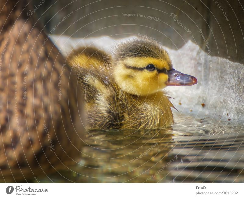Baby Mallard Duckling in Pool with Fluffy Feathers Life Swimming pool Summer Mother Adults Nature Bird Drop Cool (slang) Fresh Uniqueness Small New Cute Soft