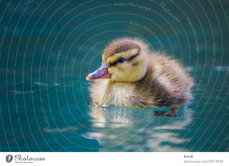Close up baby Mallard duckling floats in blue pool Life Swimming pool Summer Baby Mother Adults Nature Bird Drop Cool (slang) Fresh Uniqueness Small Wet New