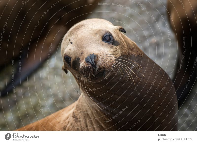Sea Lion Looks at Camera with Big Brown Eyes and Whiskers Face Sun Ocean Group Environment Nature Animal Rock Coast Fur coat Cool (slang) Fresh Uniqueness Cute