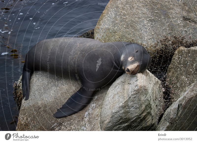 Male Sea Lion Sleeping on Rocks in Monterey California Face Ocean Man Adults Group Environment Nature Animal Coast Fur coat Cool (slang) Fresh Uniqueness Cute