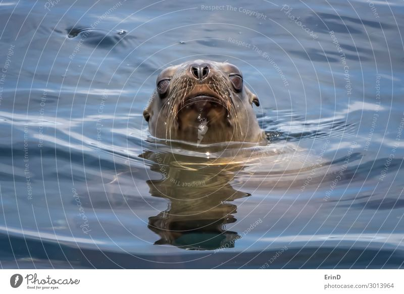 Sea Lion Emerges from Ocean with Water Drops on Whiskers Face Sun Group Environment Nature Animal Coast Fur coat Cool (slang) Fresh Uniqueness Cute Sea lion