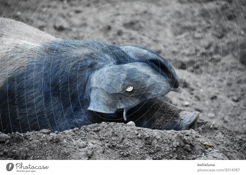 pig Swine Animal Sow Mammal Snout Dirty Colour photo Farm animal Animal portrait Nature Pig's snout Agriculture Exterior shot Deserted luck Day Barn Animal face