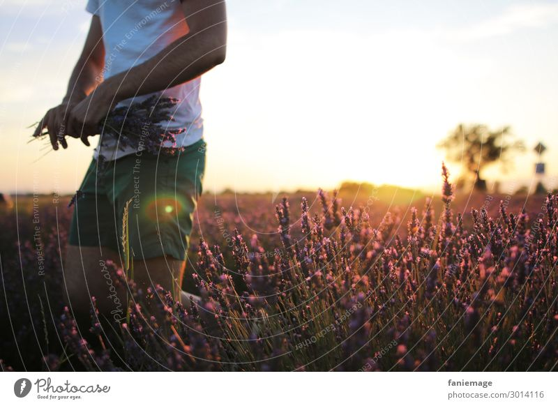Pick Lavender Masculine Body 1 Human being 30 - 45 years Adults Environment Nature Beautiful weather Field Movement Provence Lavender field Valensole Bouquet