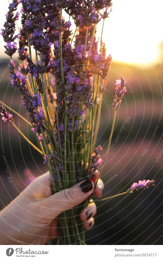 bouquet de lavande Feminine Fingers Environment Nature Beautiful weather Joy Happy Happiness Joie de vivre (Vitality) Lavender field Bouquet Nail polish
