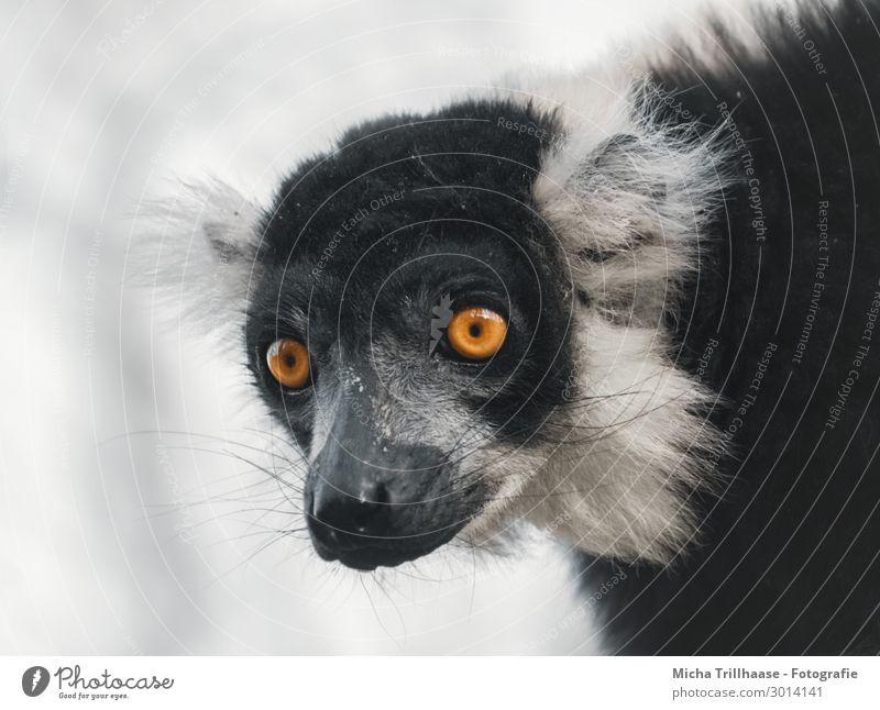 Vari Portrait Nature Animal Sky Sunlight Beautiful weather Wild animal Animal face Pelt Variegated Lemur Monkeys Half-apes Head Eyes Ear Nose Muzzle 1 Observe