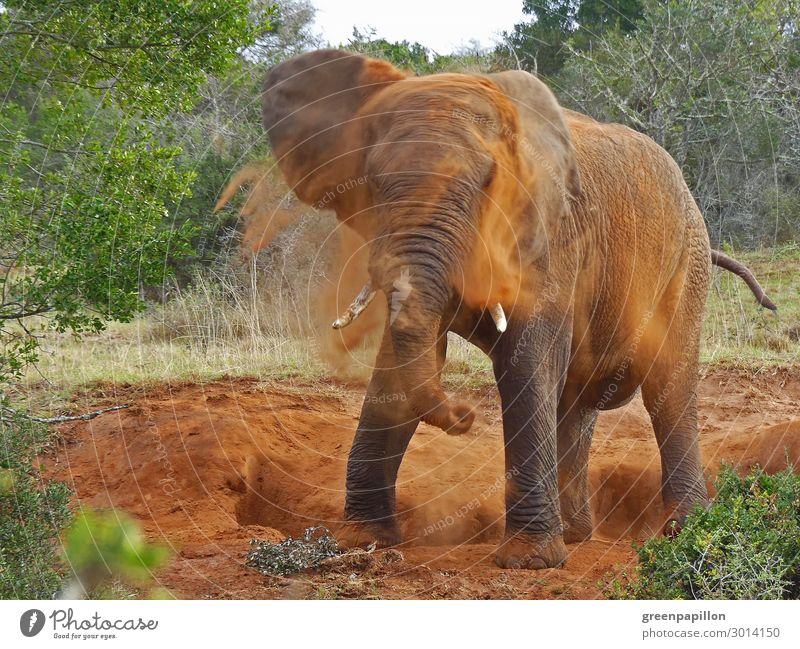 African elephant takes a shower Vacation & Travel Tourism Trip Adventure Far-off places Freedom Safari Expedition Summer Summer vacation Nature Landscape Earth