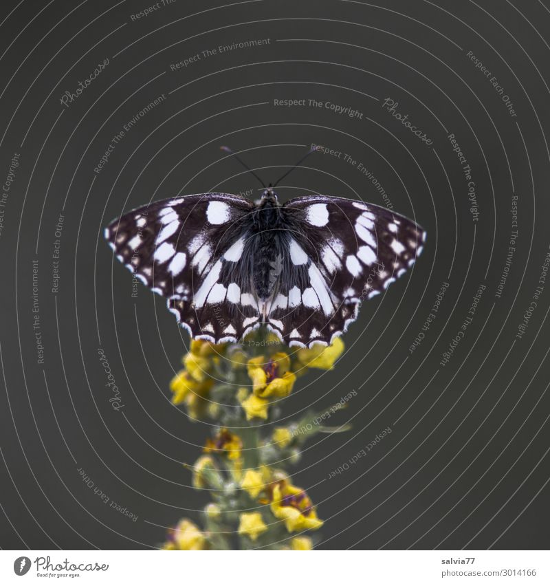 chessboard Environment Nature Summer Plant Flower Blossom Wild plant Verbascum bombyciferum Animal Butterfly Wing Insect Chessboard 1 Fragrance Colour photo