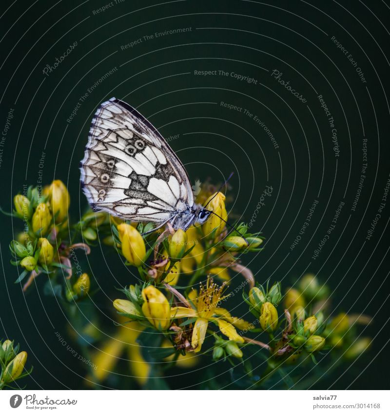 SLEEPING PLACE Environment Nature Plant Flower Blossom Wild plant Medicinal plant St. Johns Wort Field Animal Butterfly Wing Insect Chessboard 1 Break Calm