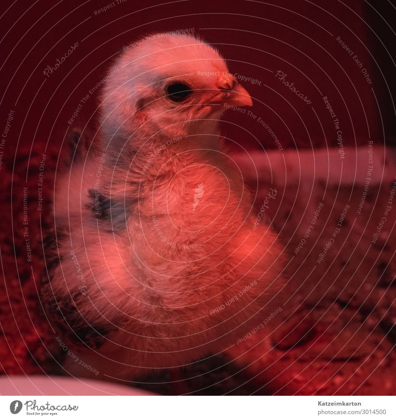 Chick in red light Animal Pet Farm animal Bird Wing 1 Baby animal Growth Cute Barn fowl Chickens Plumed Feather Red light Heat lamp Warmth Livestock breeding
