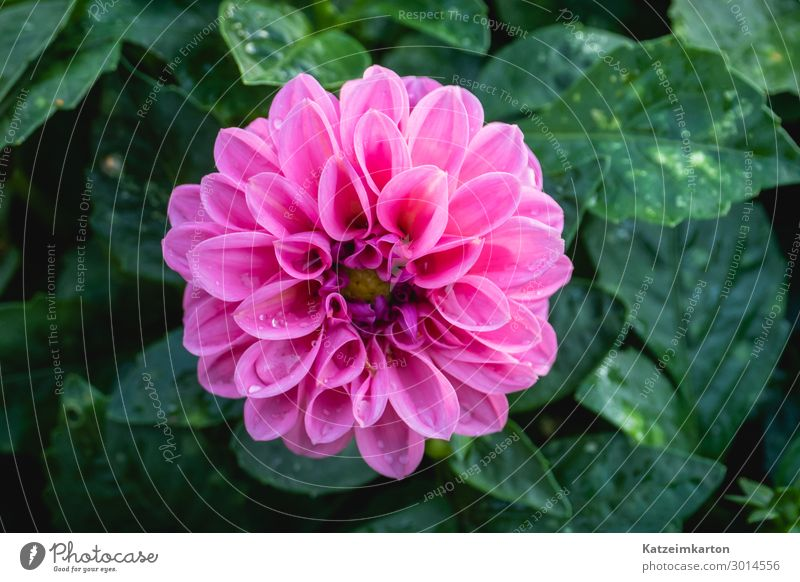 Pink dahlia blossom Vegetarian diet Nature Plant Summer Rain Flower Leaf Blossom Foliage plant Garden Park Blossoming Growth Beautiful Colour Garden plants