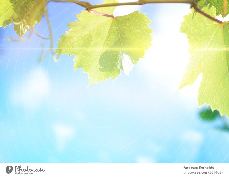 vine leaves Summer Agriculture Forestry Nature Leaf Quality Growth freshness close harvest agricultural vineyard wine autumn sky sun branch environment sunlight