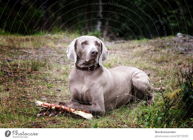 Dog Animal Forest Meadow Grass Trip Hiking Observe Friendliness Safety Pet Trust Love of animals Weimaraner Loyal Hound