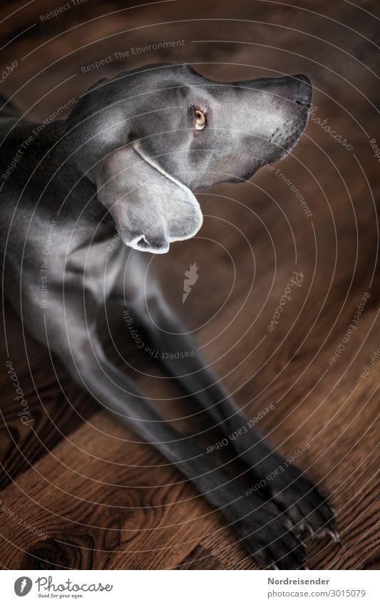 Weimaraner Hunting Dog Animal Pet Pelt 1 Observe Wait Living or residing Friendliness Brown Gray Watchfulness Elegant Hound Dog eyes Background picture Peaceful