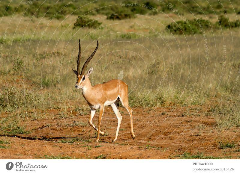 Young female antelope in the savannah of Samburu Beautiful Safari Woman Adults Man Nature Animal Park Natural Wild Africa Kenya african Antelope fauna Gazelle