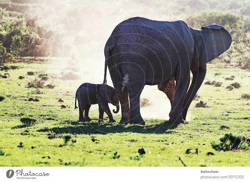 safety and trust| elephant mother with child Observe Wild Fantastic beautifully Intensive Wilderness Sunlight Exotic Impressive especially Wanderlust Contrast