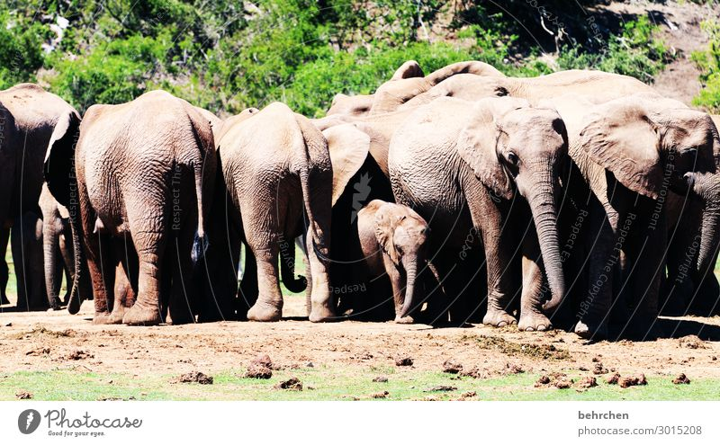 Protected Vacation & Travel Tourism Trip Adventure Far-off places Freedom Safari Wild animal Animal face Elephant Group of animals Baby animal Animal family