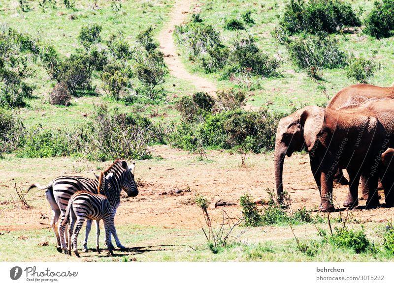 vis-à-vis Vacation & Travel Tourism Trip Adventure Far-off places Freedom Safari Wild animal Animal face Pelt Elephant Zebra Exceptional Exotic Fantastic
