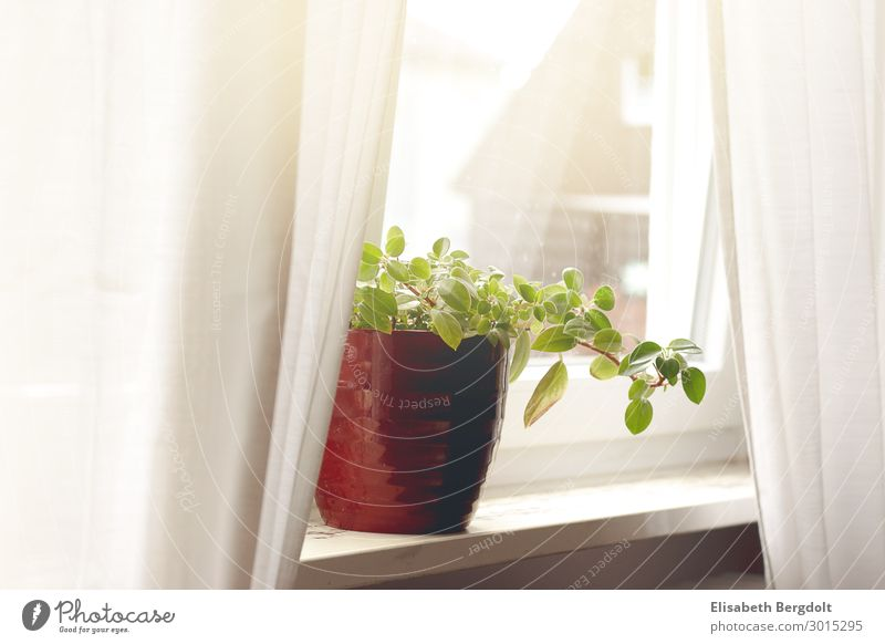 Houseplant with red pot on a windowsill curtains drapes Calm Arrange Flat (apartment) House (Residential Structure) Plant Foliage plant Pot plant Window
