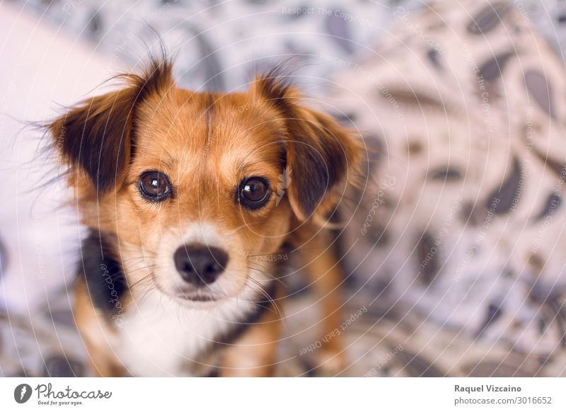 "Lovely portrait of a puppy. Animal Pet Dog 1 Observe Looking Blonde Brown Black ""portrait,"" mammal snout foreground close up home inside Colour photo Close-up"