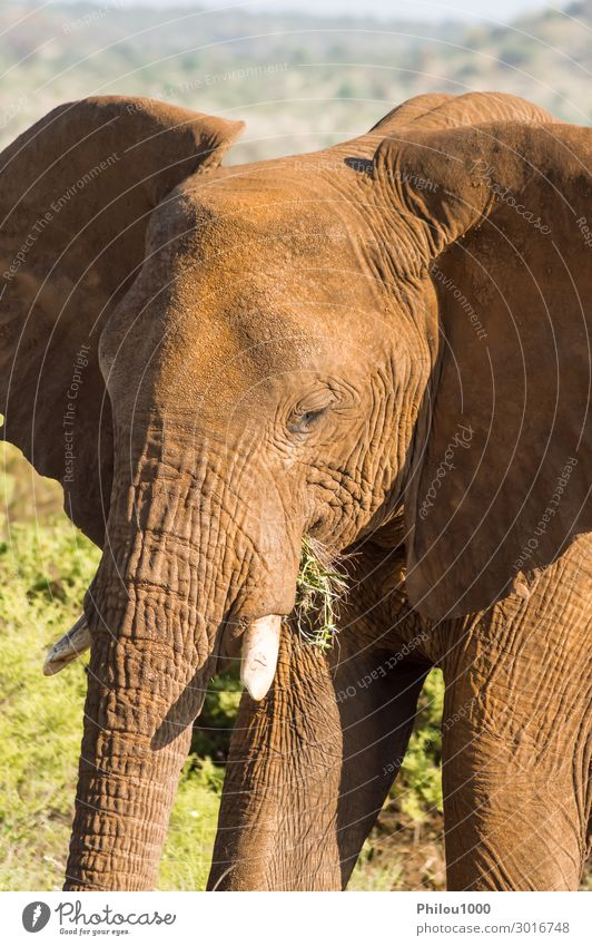 An old elephant in the savannah of Samburu Park Playing Vacation & Travel Safari Nature Animal Large Wild Africa Kenya african Battle Behavior big Elephant