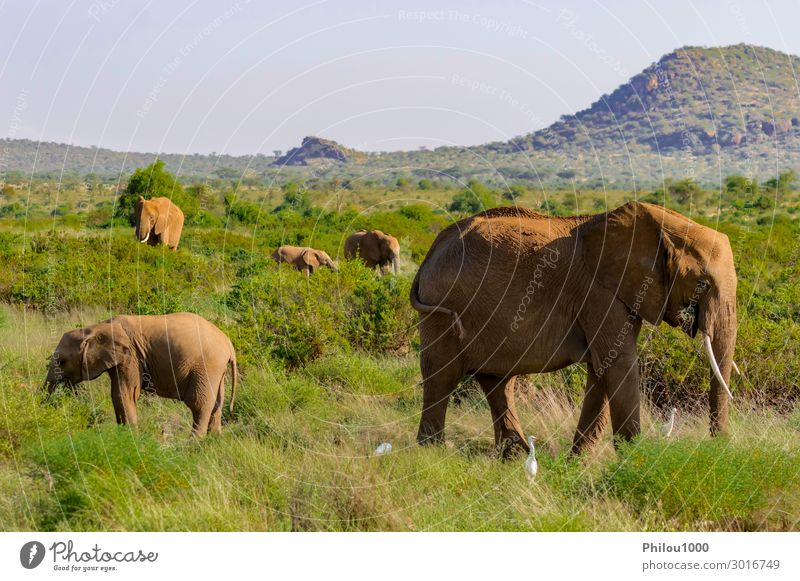 A elephant family in the bush Playing Vacation & Travel Safari Family & Relations Group Animal Grass Park Herd Wild Protection Africa Kenya Samburu african