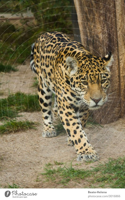 Spotted Baby Robber Beautiful Tree Grass Animal Wild animal Cat Big cat Observe Discover Hunting Fight Walking Jump Esthetic Exotic Large Curiosity Smart Soft