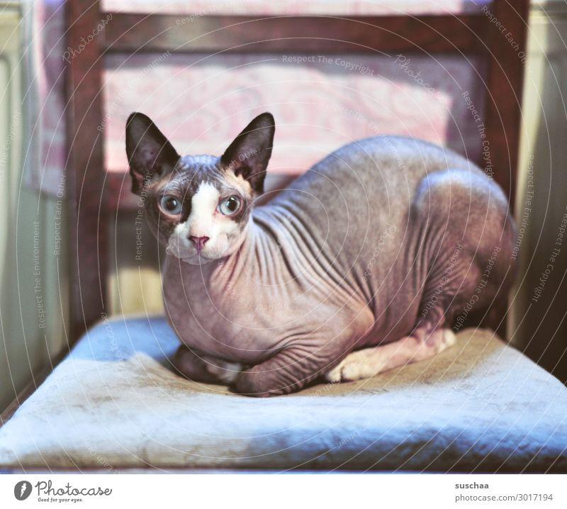 furless cat Cat naked cat sphynx Sphynx cat Animal Pet Domestic cat Naked Strange breed purebred cat Breeding queer Qualzucht Dreadful Hideous Beautiful