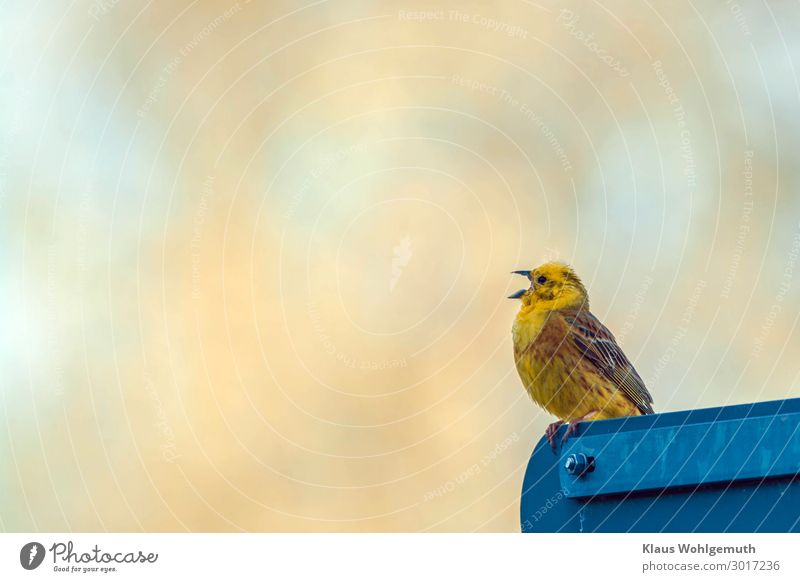 """Yellowhammer sings on a traffic sign and announces the """"latest news"""" Road sign Animal Wild animal Bird Grand piano Claw 1 Sit Blue Brown Gold Feather"""