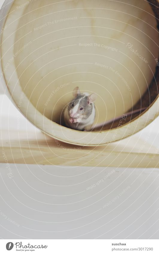 Animal Eating Funny Small Fear Cute Ear Pet Animalistic Mouse Disgust Caution Tails Rodent Diminutive Wheels