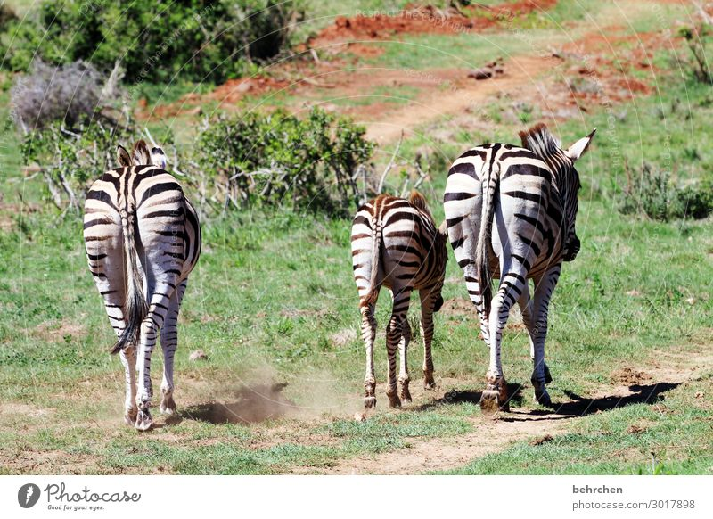 three asses Vacation & Travel Tourism Trip Adventure Far-off places Freedom Safari Nature Wild animal Zebra 3 Animal Baby animal Animal family Exceptional