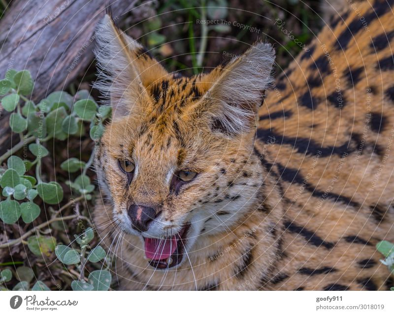 Cat Vacation & Travel Animal Far-off places Grass Tourism Freedom Trip Lie Wild animal Adventure Bushes Observe Discover Pelt Animal face