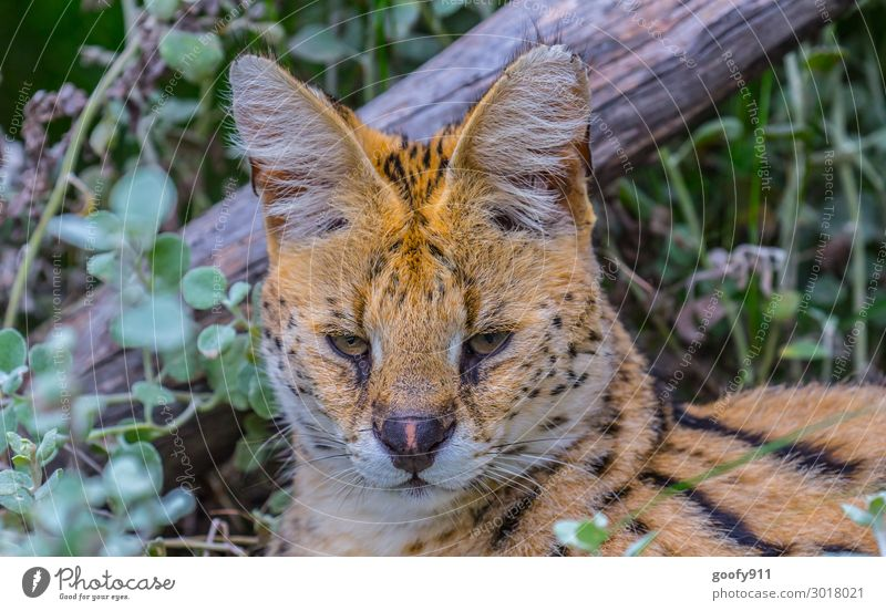 Monday mood Vacation & Travel Tourism Trip Adventure Far-off places Freedom Safari Expedition Grass Bushes Animal Wild animal Cat Animal face Pelt 1 Observe